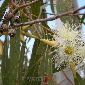 dea aroma eucalyptus